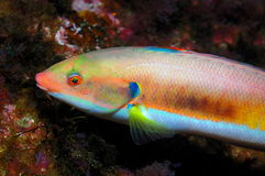 Colorfull fish (Coris julis). A interesting colour pattern of a female fish of Rainbow wrasse specie (Coris julis Royalty Free Stock Photos