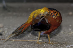 Colorfull Golden Pheasant Royalty Free Stock Image