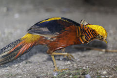 Colorfull Golden Pheasant Royalty Free Stock Photos