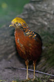 Colorfull Golden Pheasant Stock Photo