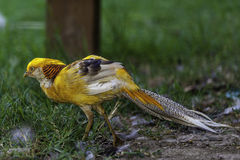 Colorfull Golden Pheasant. A beautiful male Golden Pheasant, shot in Bucharest park Stock Photography