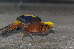 Colorfull Golden Pheasant Royalty Free Stock Photography