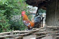 Colorfull hane Royaltyfria Bilder