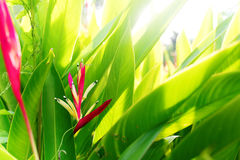 Colorfull Heliconia Flower Tropical Plant Summer Royalty Free Stock Photos