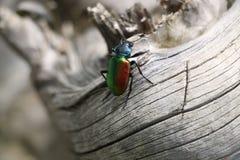 Colorfull insekt lub pluskwa Zdjęcie Royalty Free