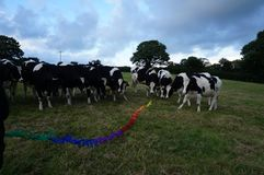 Welsh cows friendly and very curious. The colorfull kite tail attracted my neighbour cows when landing after a photo session Royalty Free Stock Image
