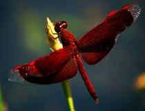 Colorfull Libelle Stockfotografie