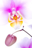 Colorfull orchid. Delicate and colorfull orchid isolated royalty free stock photo