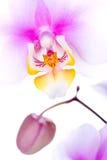 Colorfull Orchidee Lizenzfreies Stockfoto