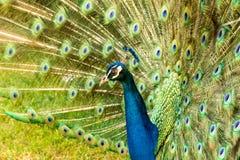 Colorfull påfågel arkivbilder
