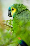 Colorfull Parrot Royalty Free Stock Photo