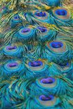 Peacock tail feathers royalty free stock photo