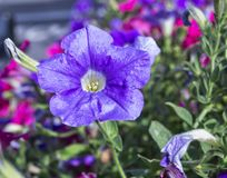Colorfull petuniablommor Arkivbilder