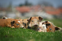 Colorfull pigs Royalty Free Stock Images