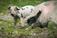 Colorfull pigs Stock Images