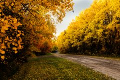 Colorfull Poplar Leaves Along Roadside. Trees are showing there fall colors as the line this country road. Unfortunately with the cold weather I don`t think they Royalty Free Stock Images