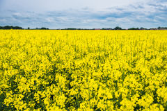 Colorfull Rapeseed field Royalty Free Stock Photo
