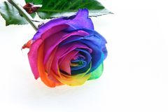 Colorfull rose Royalty Free Stock Images