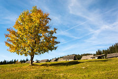 Colorfull träd på platån Pokljuka Arkivbild