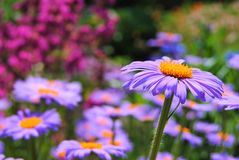 Colorfull trädgård och detalj av lilablomman Arkivbilder