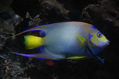 A colorfull tropical fish isolated Stock Images