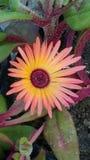 Colorfull växt Fotografering för Bildbyråer