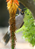 Colorfull Vogel, der Blumen isst Stockfotografie