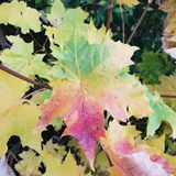 colorfulllönnlöv arkivfoto