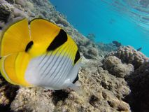 Colorfull fisch underwater. Colorfulll fisch underwater yellow fisch and reefs stock photography