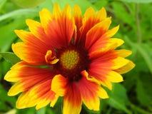 Λουλούδι Colorfully στοκ εικόνα με δικαίωμα ελεύθερης χρήσης