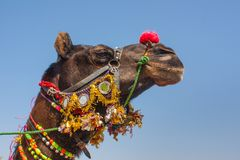 Colorfully Decorated Camel. Closeup in Rajasthan, India Stock Photo