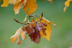 Colorfult jesieni liście na gałązce Obrazy Stock
