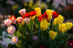 Colorful Tulips  fresh real flowers Royalty Free Stock Image