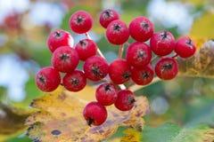 Colori autunnali delle foglie dell'arancia e gialle e delle bacche di sorbo rosse Fotografia Stock