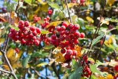 Colori autunnali delle foglie dell'arancia e rosse e delle bacche di sorbo Fotografie Stock