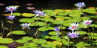 Colori beautful porpora di Flor de loto di loto del fiore del giglio fotografie stock libere da diritti