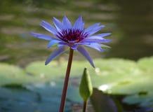 Colori beautful porpora di Flor de loto di loto del fiore del giglio immagine stock