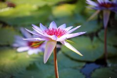 Colori beautful porpora di Flor de loto di loto del fiore del giglio fotografie stock