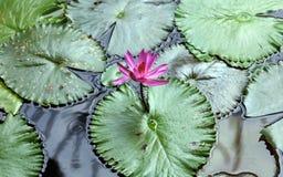 Colori beautful porpora di Flor de loto di loto del fiore del giglio immagine stock libera da diritti