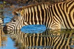 Colori beventi dello specchio della zebra Fotografia Stock