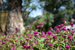 Colori dei fiori porpora Fotografia Stock Libera da Diritti