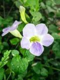 Colori del benjarong cinque di nome del fiore Fotografia Stock