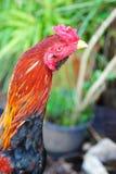 Colori del gallo da combattimento Fotografie Stock