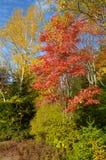 Colori dell'albero del fogliame di caduta contro cielo blu Fotografia Stock Libera da Diritti