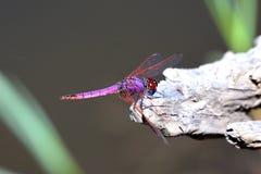 Colori della libellula Fotografia Stock