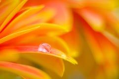 Colori della margherita arancio in acqua drops21 Fotografia Stock