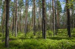 Colori della primavera in una foresta di conifere Fotografia Stock