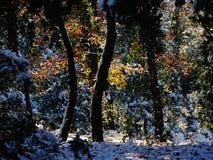 Colori di automnal della copertura della neve di una foresta Immagine Stock Libera da Diritti