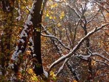Colori di automnal della copertura della neve di una foresta Immagini Stock Libere da Diritti
