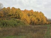 Colori di autunno - alberi gialli Immagini Stock Libere da Diritti